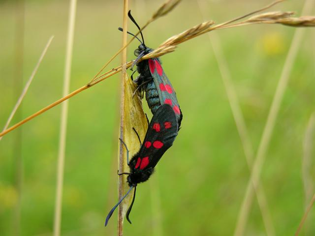 Six-spot Burnet (Zygaena filipendulae) photo