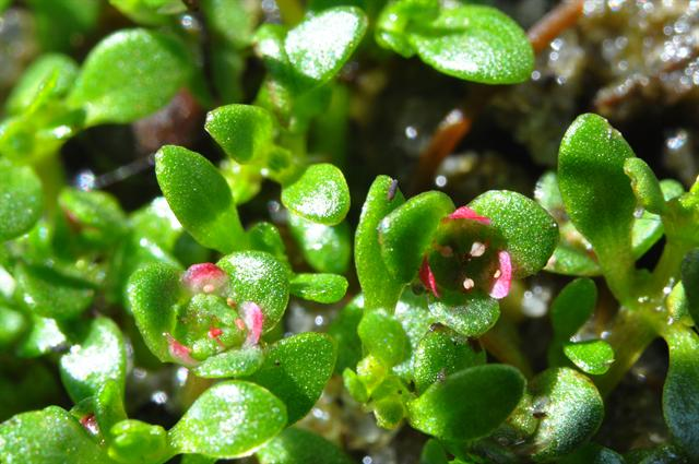 Six-Stamened Waterwort (Elatine hexandra) photo