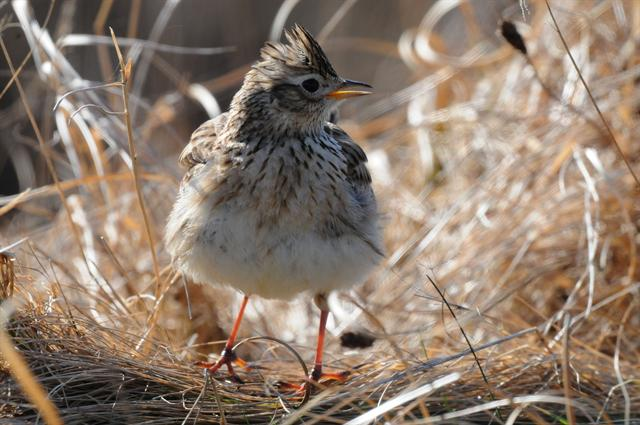 skylark (Alauda arvensis) photo