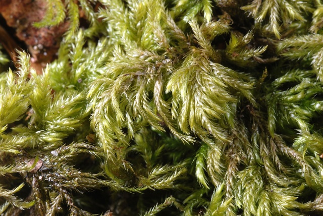 Slender Mouse-tail Moss (Isothecium myosuroides) photo