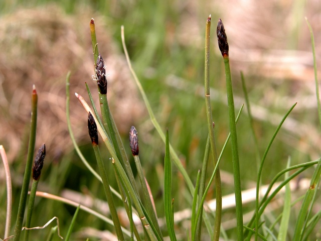 Slender Spike-Rush  One-Glumed Spike-Rush (Eleocharis uniglumis) photo
