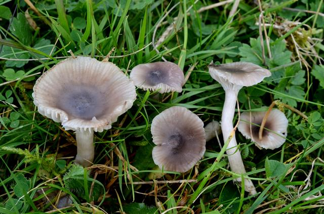 Slender Waxcap (Hygrocybe radiata) photo