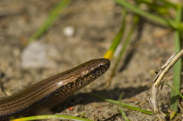 Slow-worm (Anguis fragilis) photo
