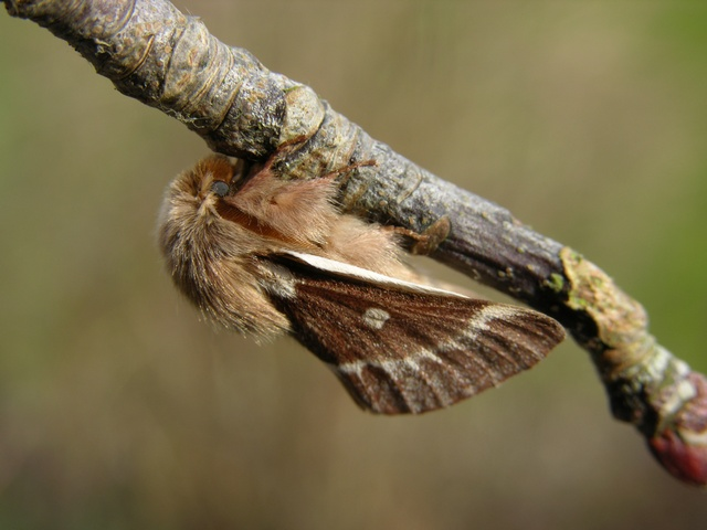 Small Eggar (Eriogaster lanestris) photo
