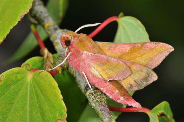 Small Elephant Hawk-moth (Deilephila porcellus) photo