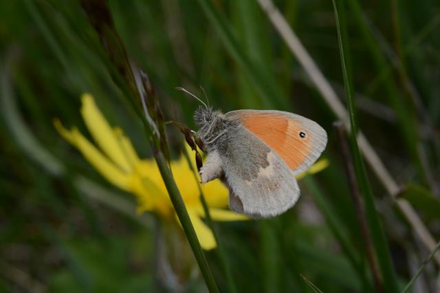Small Heath (Coenonympha pamphilus) photo