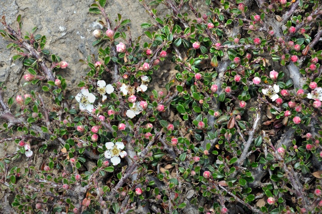 Small-leaved Cotoneaster (Cotoneaster microphyllus) photo