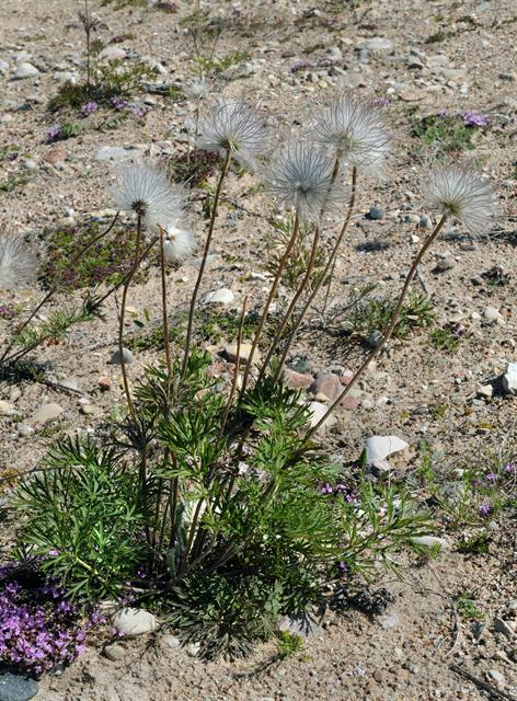 Small Pasque Flower (Pulsatilla pratensis) photo