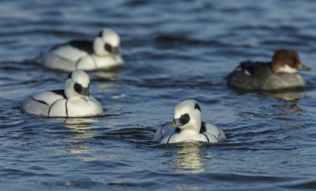 Smew (Mergellus albellus) photo