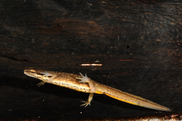 Smooth Newt, Common Newt (Triturus vulgaris) photo