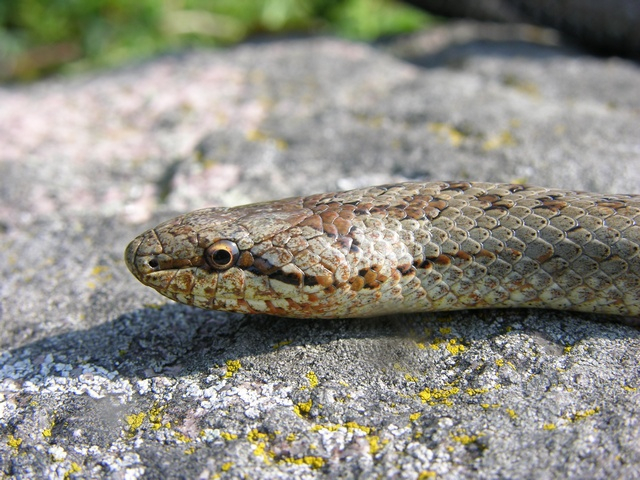 Smooth Snake (Coronella austriaca) photo