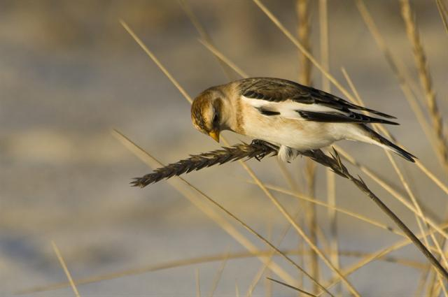 Snow Bunting (Plectrophenax nivalis) photo