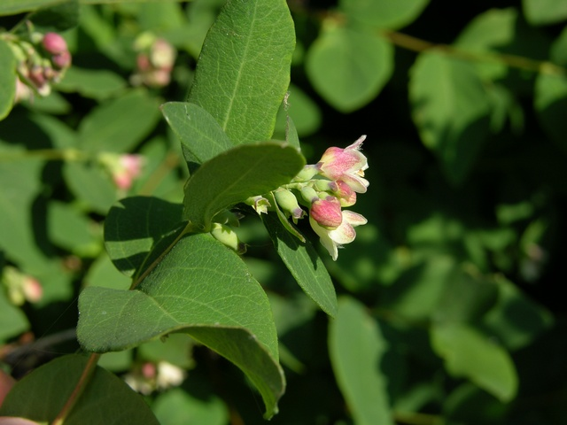Snowberry (Symphoricarpos albus) photo