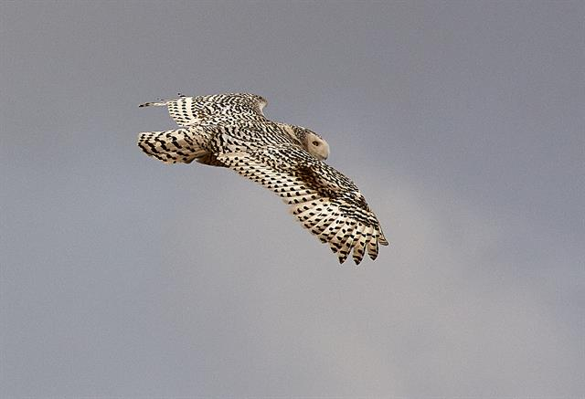 Snowy Owl (Bubo scandiaca) photo