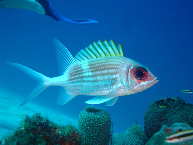 Soldierfish (Holocentrus sp.) photo