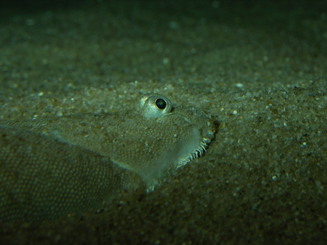 Common sole, Dover sole (Solea solea)