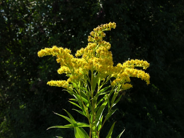 Early Goldenrod (Solidago gigantea)