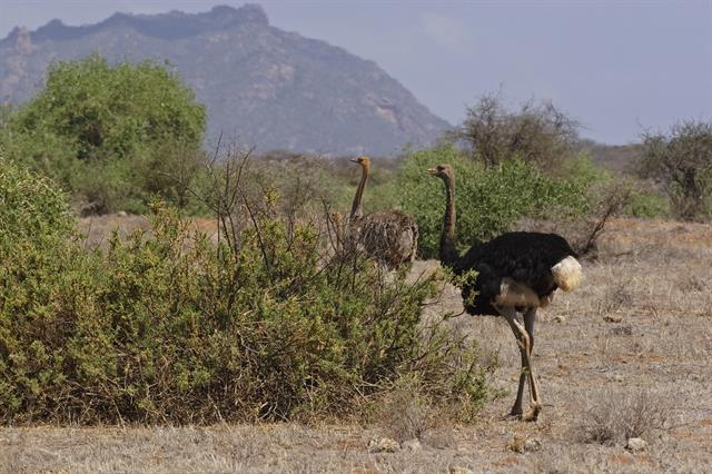 Somali Ostrich (Struthio molybdophanes) photo