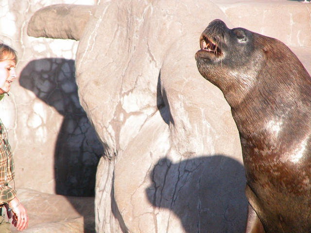 South American Sea Lion (Otaria flavescens) photo
