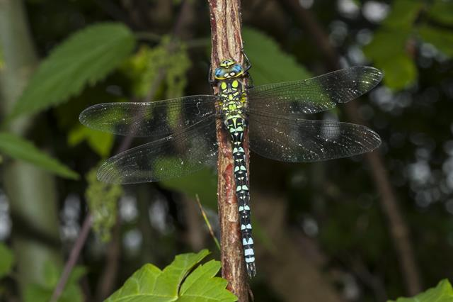 Southern Hawker Dragonfly (Aeshna cyanea) photo