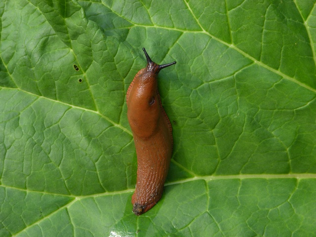 Spanish slug (Arion lusitanicus) photo