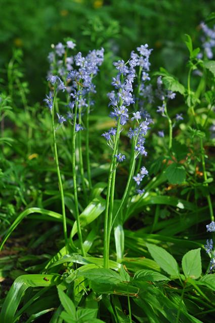 Spanish Squill, Garden Squill (Hyacinthoides hispanica) photo