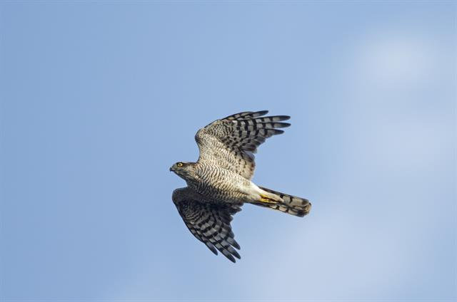 Sparrowhawk (Accipiter nisus) photo