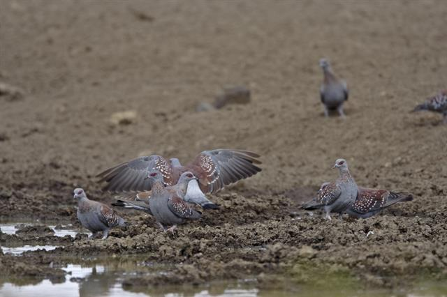 Speckled Pigeon (Columba guinea) photo