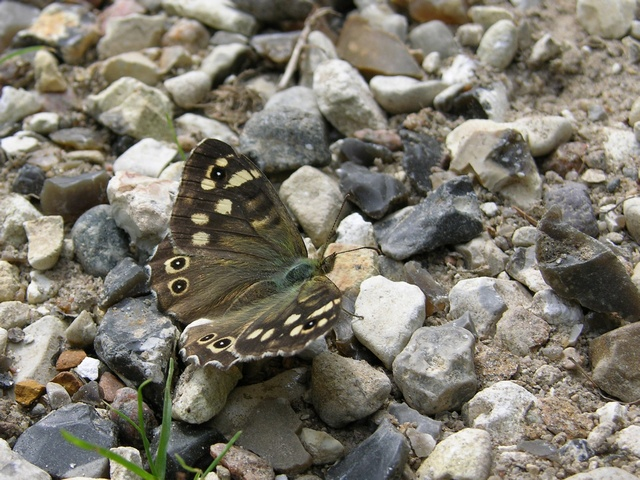 Speckled Wood (Pararge aegeria) photo