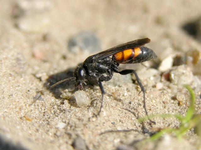 Spider wasp (Anoplius viaticus) photo