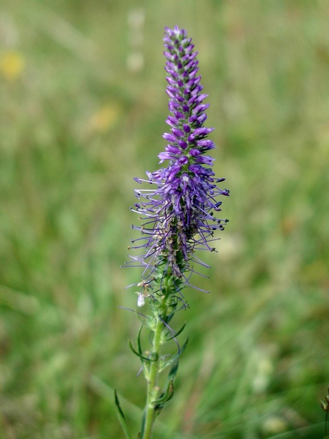 Spiked Speedwell (Veronica spicata) photo