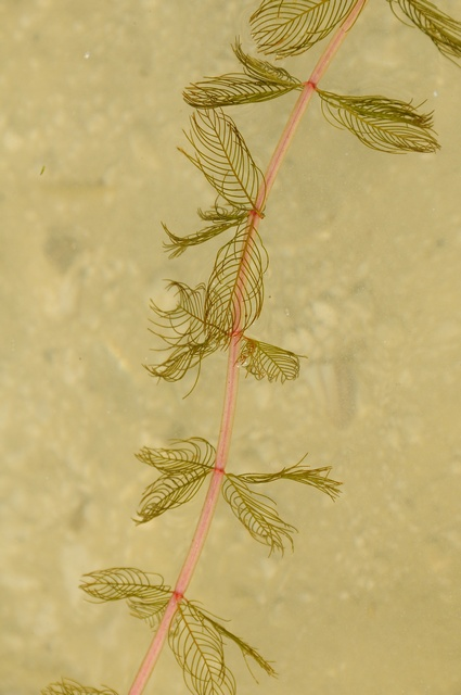 Spiked Water-Milfoil (Myriophyllum spicatum) photo