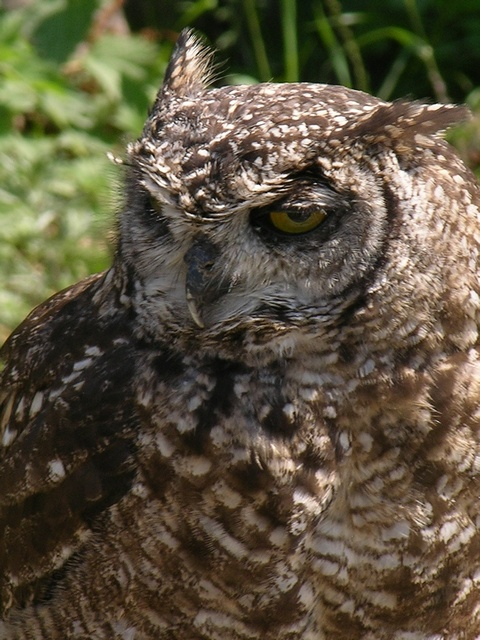 Spotted eagle owl (Bubo africanus) photo