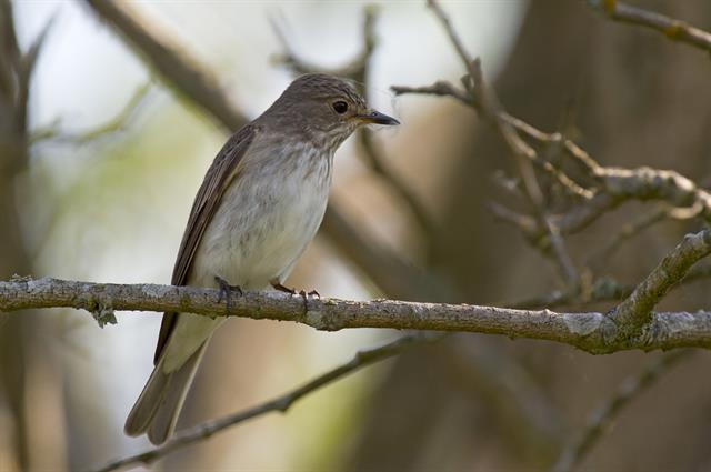 Spotted Flycatcher (Muscicapa striata) photo