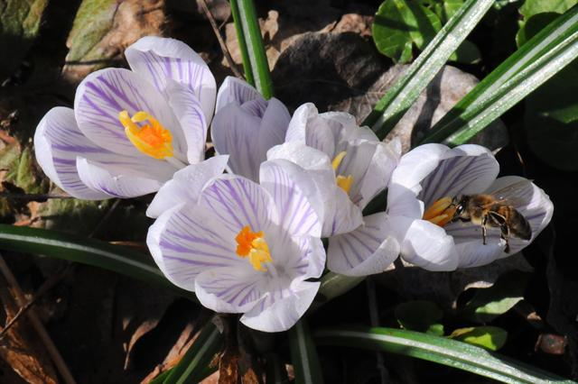 Spring Crocus (Crocus vernus) photo