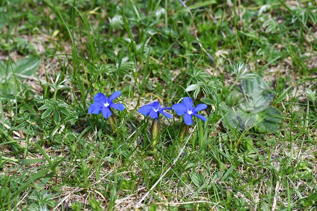 Spring Gentian (Gentiana verna) photo