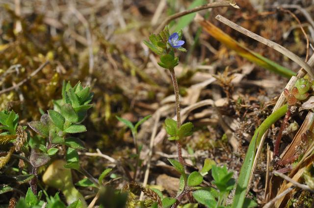 Spring Speedwell (Veronica verna) photo