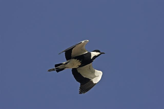 Spur-winged Lapwing (Vanellus spinosus) photo