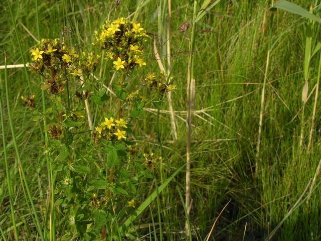 Square-stalked St. John´s-wort (Hypericum tetrapterum) photo