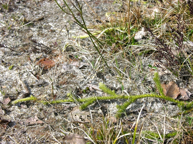 Stag´S-Horn Clubmoss (Lycopodium clavatum) photo
