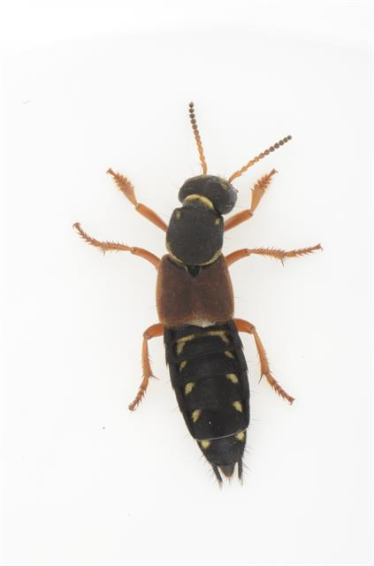 Staphylinus dimidiaticornis