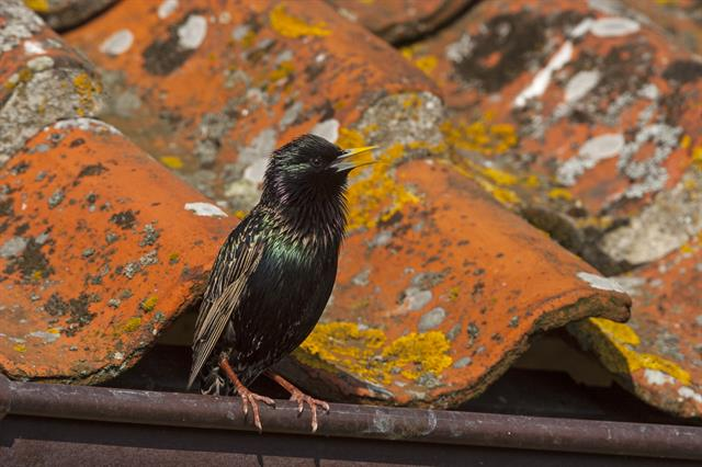 starling (Sturnus vulgaris) photo
