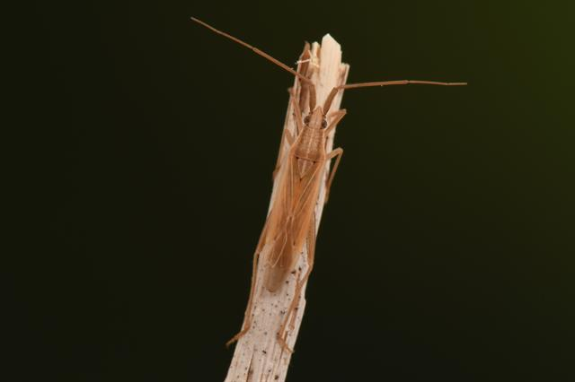 Stenodema laevigata photo