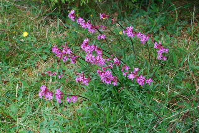 Sticky Catchfly (Viscaria vulgaris) photo