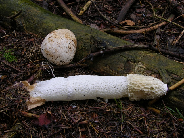 Stinkhorn (Phallus impudicus) photo