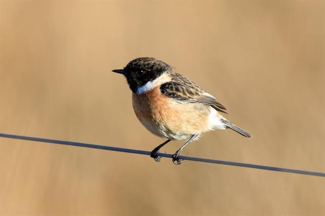 Stonechat (Saxicola torquatus) photo