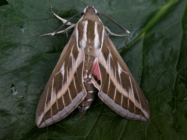 Striped Hawk-moth (Hyles livornica) photo