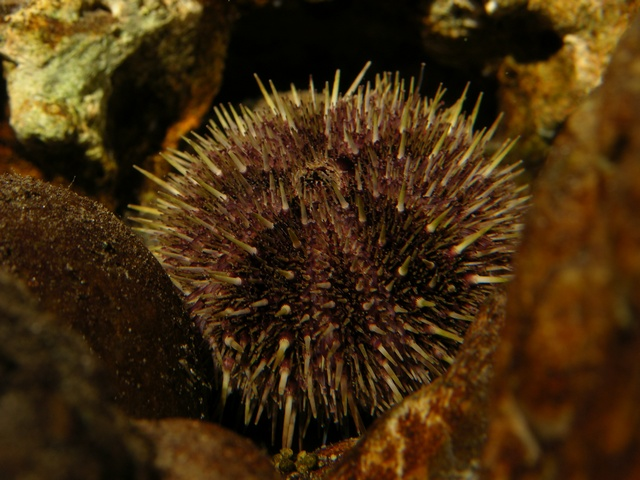Northern Sea Urchin (Strongylocentrotus droebachiensis)