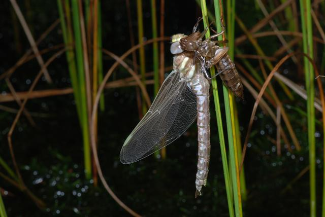Subarctic Darner (Aeshna subarctica) photo