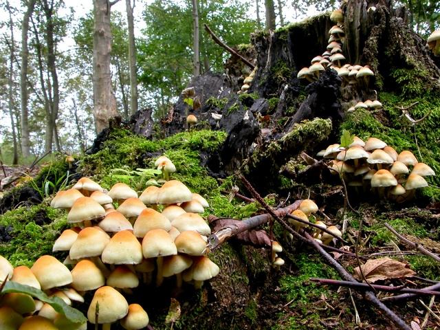 Sulphur Tuft (Hypholoma fasciculare) photo